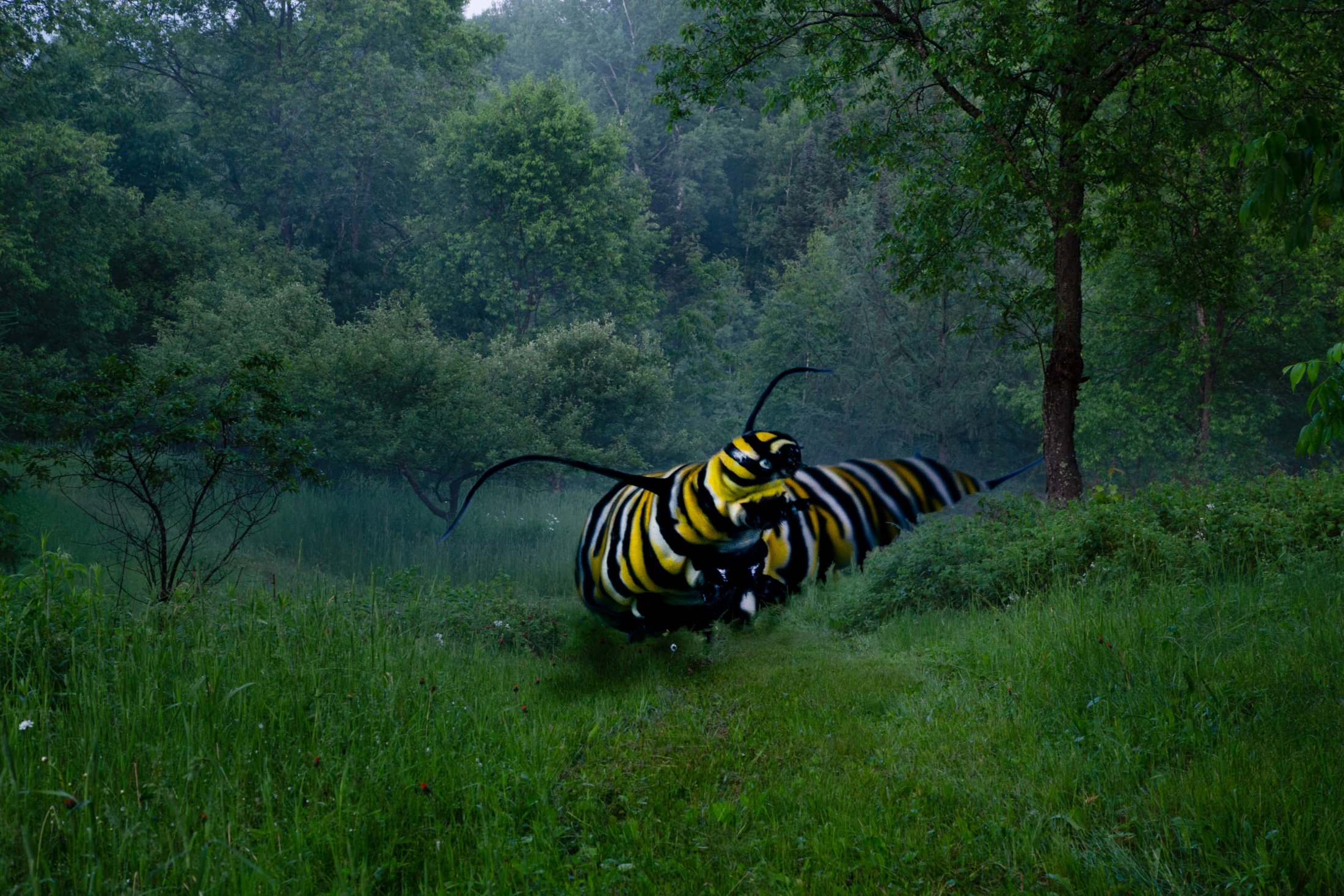 Monarch Catarpillar At Night Larg